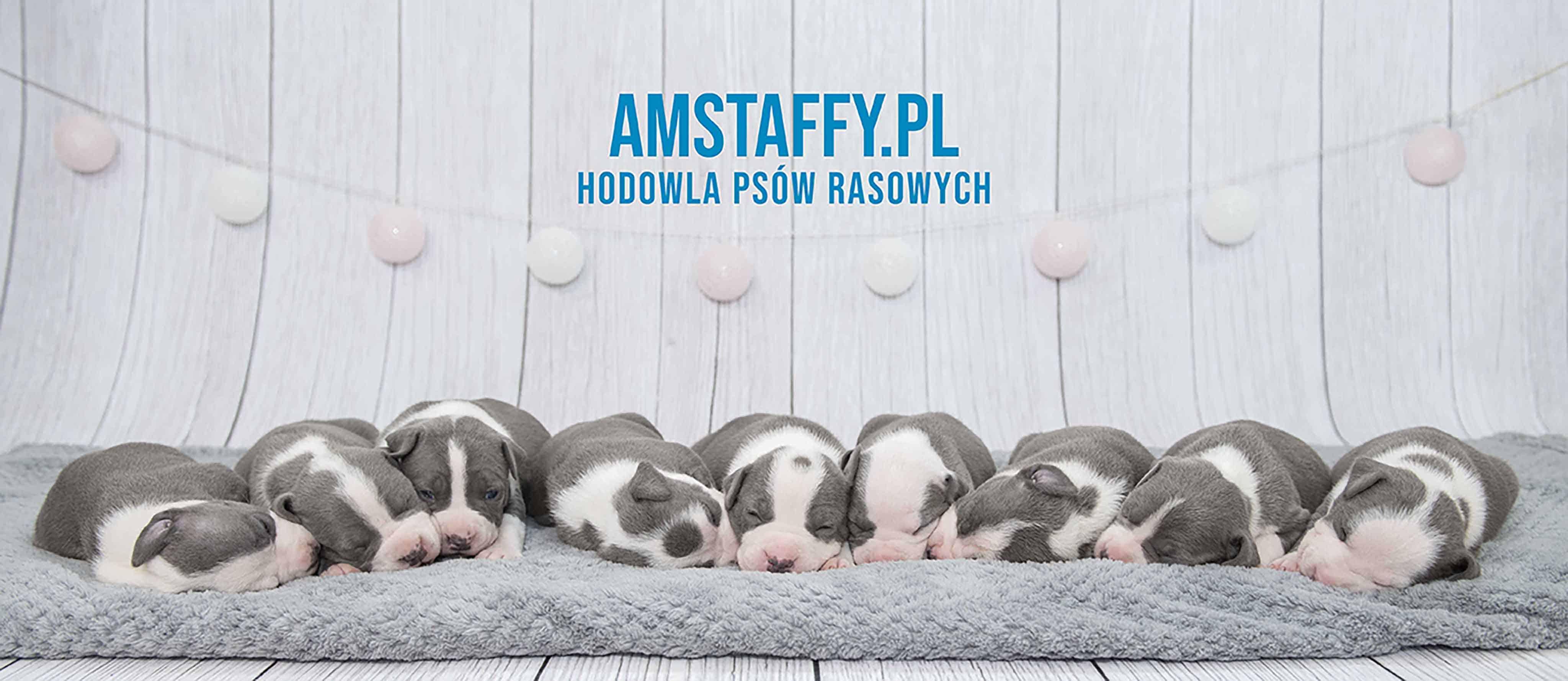 Hodowla Amstaffów - Szczeniaki - Amstaffy.pl - tło